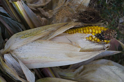 Harvest Time - Corn Art Print by Bill Cannon