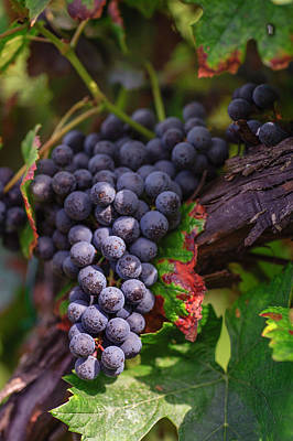 Blue Grapes Photograph - Harvest Time In Palava Vineyards by Jenny Rainbow