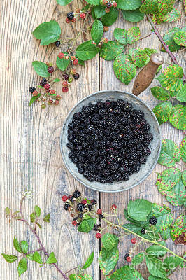 Rosaceae Photograph - Harvested Wild Blackberries  by Tim Gainey