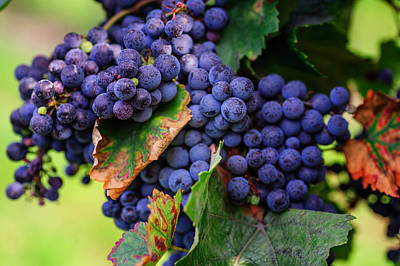 Blue Grapes Photograph - Harvesting 1 by Jenny Rainbow