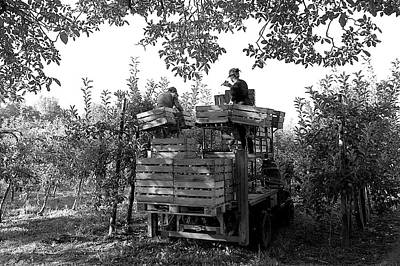 Photograph - Harvesting Apples by Colleen Williams