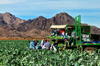 Brassica Oleracea Photograph - Harvesting Broccoli by Robert Bales