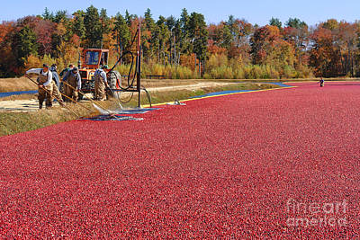 Photograph - Harvesting Cranberries by Olivier Le Queinec