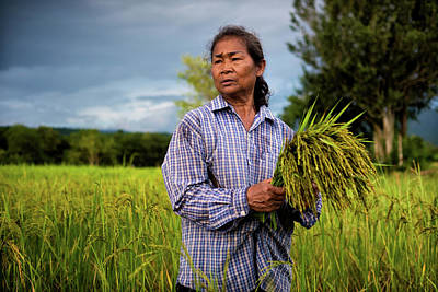 Lee Craker Royalty-Free and Rights-Managed Images - Harvesting Early Rice by Lee Craker