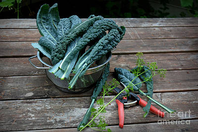 Photograph - Harvesting Homegrown Kale by Tanya Searcy