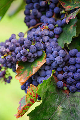 Blue Grapes Photograph - Harvesting by Jenny Rainbow