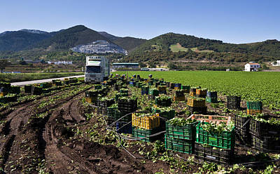 Harvesting Lettuce Near Ventas De Art Print by Panoramic Images