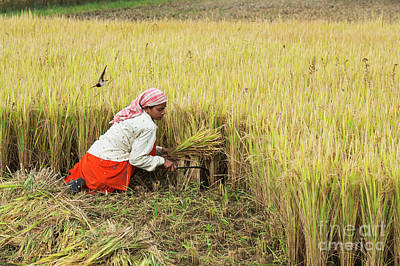 Photograph - Harvesting Rice by Tim Gainey