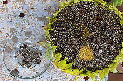 Photograph - Harvesting Sunflower Seeds by Sharon Talson