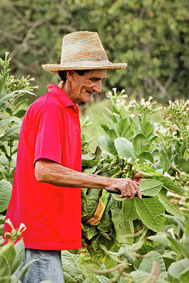 Photograph - Harvesting Tobacco by Dawn Currie