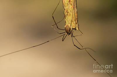 Photograph - Harvestman Spider - Opilio Canestrinii by Jivko Nakev