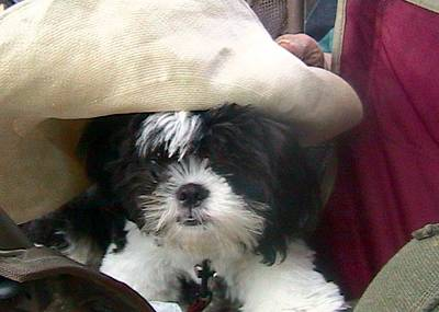 Photograph - Hat Puppy by Chuck Snyder