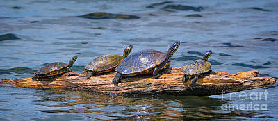Oneal Photograph - Hatchie National Wildlife Refuge Turtles by Priscilla Burgers