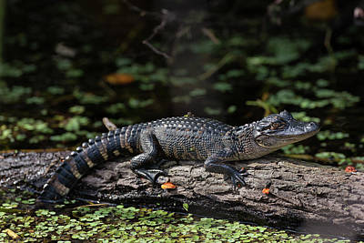 Photograph - Hatchling In The Sun by David Watkins