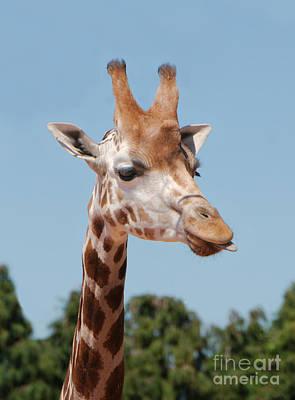Kim Fearheiley Photography Royalty Free Images - Having A Giraffe Royalty-Free Image by MSVRVisual Rawshutterbug