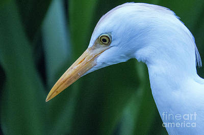 Photograph - Hawaii Cattle Egret 2 by Christy Garavetto