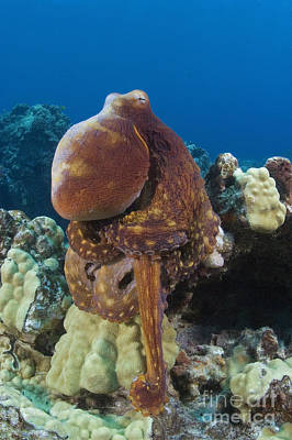 Blend Photograph - Hawaii, Octopus by Dave Fleetham - Printscapes