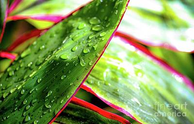 Photograph - Hawaii Ti Leaves Morning Shower 559 by D Davila