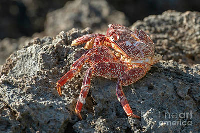 Reptiles Royalty-Free and Rights-Managed Images - Hawaiian Rock Crab by Mike Dawson