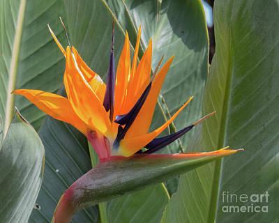 Photograph - Hawaiian Bird Of Paradise by Christy Garavetto