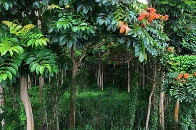 Photograph - Hawaiian Blooming Cashew Nut Trees  by Marilyn MacCrakin