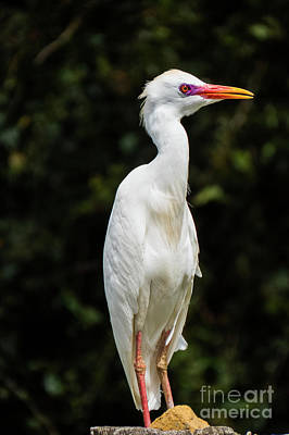 Photograph - Hawaiian Cattle Egret 2 by Christy Garavetto