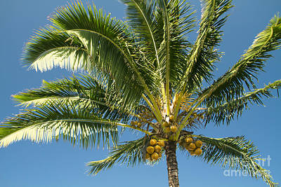 Photograph - Hawaiian Coconut Palm Tree by Sharon Mau