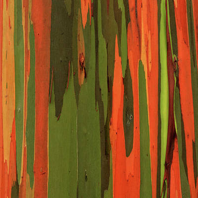 Photograph - Hawaiian Eucalyptus by James Eddy
