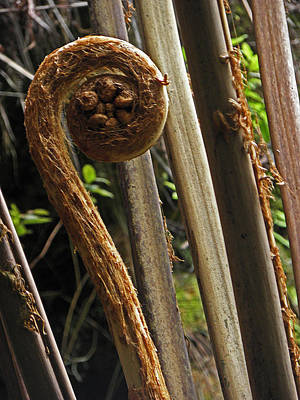 Photograph - Hawaiian Fern by Elizabeth Hoskinson