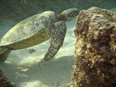 Honu Photograph - Hawaiian Green Sea Turtle by Michael Peychich