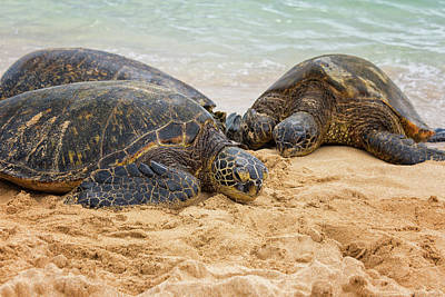Beach Photograph - Hawaiian Green Sea Turtles 1 - Oahu Hawaii by Brian Harig