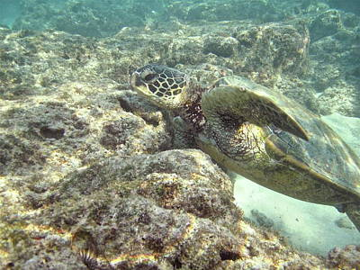 Honu Photograph - Hawaiian Green Turtle by Michael Peychich