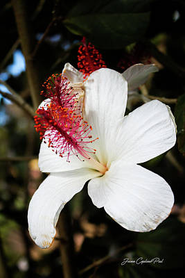 Photograph - Hawaiian Hibiscus  by Joann Copeland-Paul