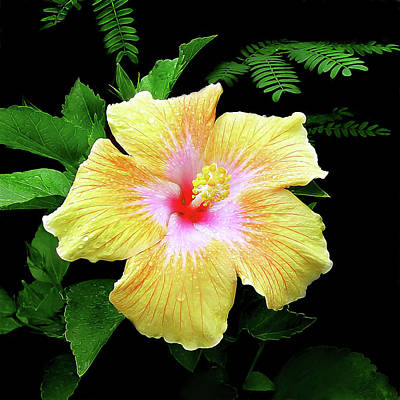Crepe Paper Photograph - Hawaiian Hibiscus by Marcia Colelli