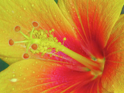 Photograph - Hawaiian Hibiscus - Orange 01 - Kauai, Hawaii by Pamela Critchlow