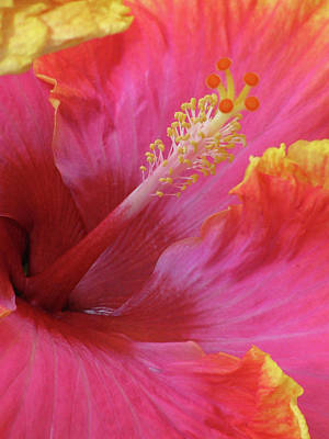 Photograph - Hawaiian Hibiscus - Orange And Red 02 by Pamela Critchlow