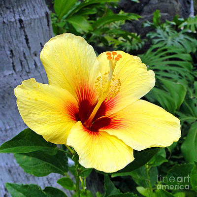 Photograph - Hawaiian Hibiscus by Sue Melvin
