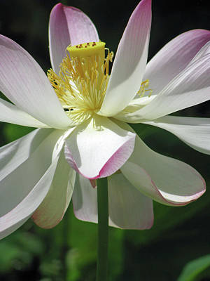 Photograph - Hawaiian Lotus 02 - Kauai, Hawaii by Pamela Critchlow