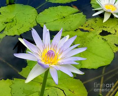 Photograph - Hawaiian Lotus by Kristine Merc
