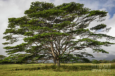 Photograph - Hawaiian Moluccan Albizia Tree by Dustin K Ryan