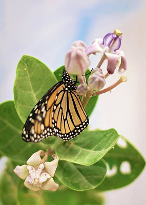 Photograph - Hawaiian Monarch by Heather Applegate
