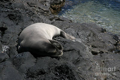 Sleeping Dog Digital Art - Hawaiian Monk Seal Ilio Holo I Ka Uana by Sharon Mau