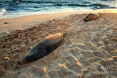 Photograph - Hawaiian Monk Seals by M G Whittingham