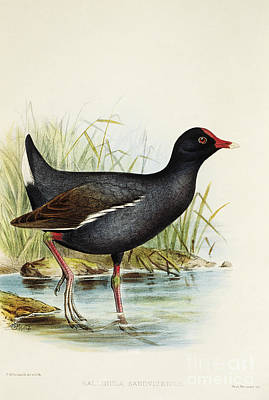 Moorhen Painting - Hawaiian Moorhen by Hawaiian Legacy Archive - Printscapes
