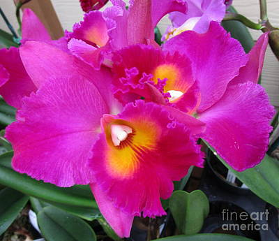 Hawaiian Orchid 3 Art Print