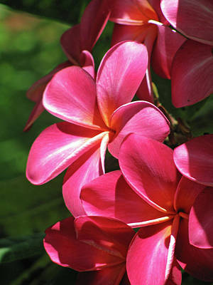 Photograph - Hawaiian Plumeria - Red 01 by Pamela Critchlow
