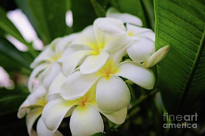 Photograph - Hawaiian Plumeria by Scott Pellegrin