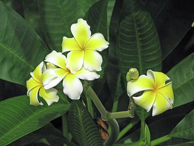 Photograph - Hawaiian Plumeria - Yellow 01 by Pamela Critchlow