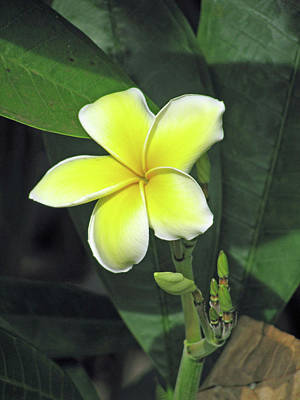 Photograph - Hawaiian Plumeria - Yellow 03 by Pamela Critchlow