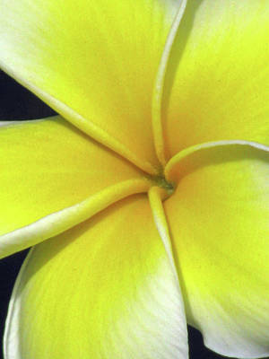 Photograph - Hawaiian Plumeria - Yellow 04 by Pamela Critchlow